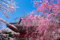 茨城県 桜川市 雨引観音の桜