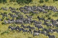 ボツワナ 移動するシマウマの群れ