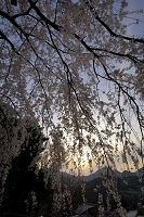 愛媛県 夕暮れ 東のしだれ桜