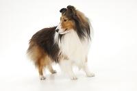 シェットランドシープドッグ 横を向いて立っている犬