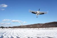 北海道 鶴センターを飛び立つタンチョウ