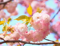 サクラ 八重桜 松月