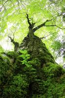 静岡県 カエデの巨木と新緑の原生林
