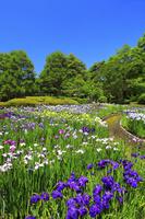 京都府 京都府立植物園のはなしょうぶ園