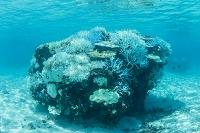 サンゴの白化現象 宮古島