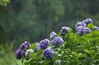 梅雨 アジサイ