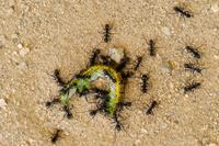フタトガリコヤガ幼虫に集まるアリ
