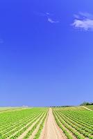 北海道 なだらかな丘の畑の小道と青空