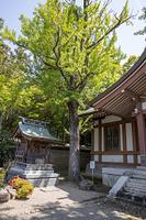 兵庫県 川西市 多田神社 不思議の銀杏