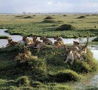 マサイマラ国立保護区 雌ライオンの群れ