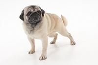 パグ 立っている犬