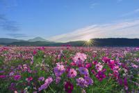 滋賀県 朝日に輝くコスモスの花