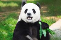 中国 香港海洋公園 ジャイアントパンダ