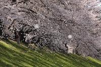 京都府 背割りの桜