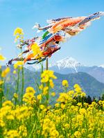 長野県 菜の花咲く春の穂高