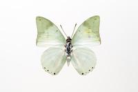 蝶 標本 アオハタオチョウ 中央アフリカ