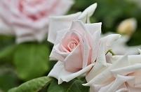 愛知県 鶴舞公園 バラ