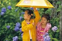 梅雨 雨の日の女の子達とアジサイ