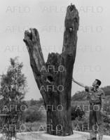 事件 ポプラ の 木