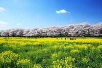 埼玉県 幸手市 権現堂のサクラ並木と菜の花畑