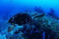 泳ぐ一匹のタイマイ(ウミガメ) タイ・タオ島
