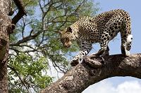 木の上に立つヒョウ