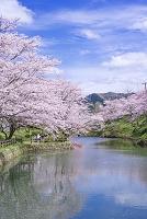 鳥取県 鳥取市 鹿野城跡公園 桜