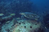 インド洋 セーシェル諸島 タイマイ