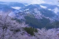 奈良県 吉野山 ヤマザクラと金峯山寺蔵王堂