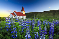 アイスランド ヴィーク ルピナスと教会