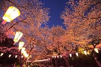東京都 上野公園の夜桜