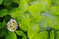 雫に覆われたアジサイの花