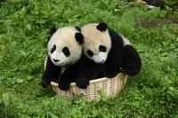 遊ぶ子パンダ 中国パンダ保護研究センター