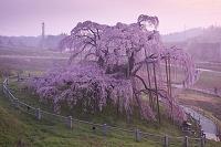 福島県 三春滝桜の朝