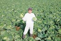 キャベツを収穫した農家