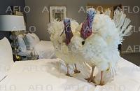 恩赦予定の七面鳥2羽 式典まで高級ホテルで待機