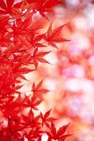 赤く染まるもみじ葉