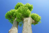 三重県 楠の木の若葉