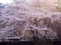 秋田県 角館しだれ桜