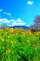 茨城県 菜の花と山並み