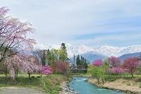 春爛漫の大出の吊橋