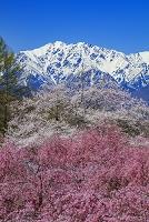 長野県 立屋の桜と北アルプス(爺ヶ岳)