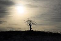 北海道 夕日の丘のエゾ山桜