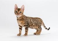 ベンガル 子猫