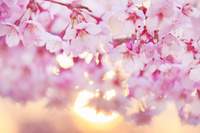 長野県 上田市 桜(サツマベニ)