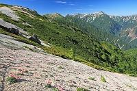 長野県 北燕岳のコマクサ群落と槍ヶ岳