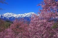 長野県 番所の桜山 ベニシダレザクラと北アルプス(爺ヶ岳と鹿...
