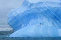 南極 氷山の上のアゴヒゲペンギン