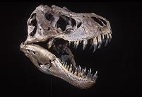 ティラノサウルスレックスの化石