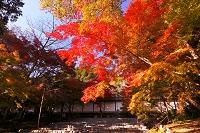 京都府 二尊院の紅葉の馬場